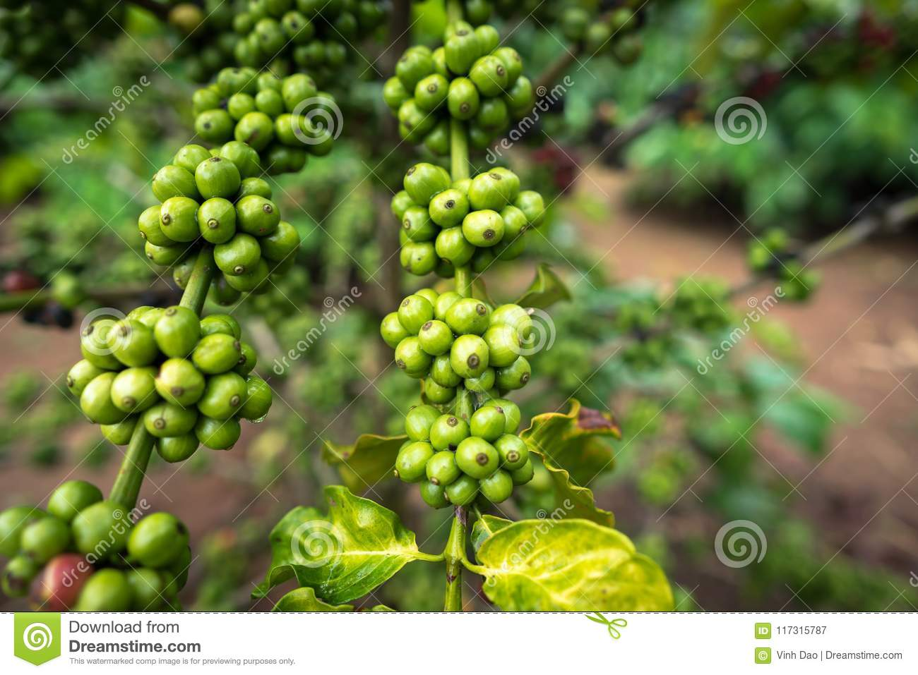 Green Coffee Beans On Tree Stock Image Image Of Fresh 117315787