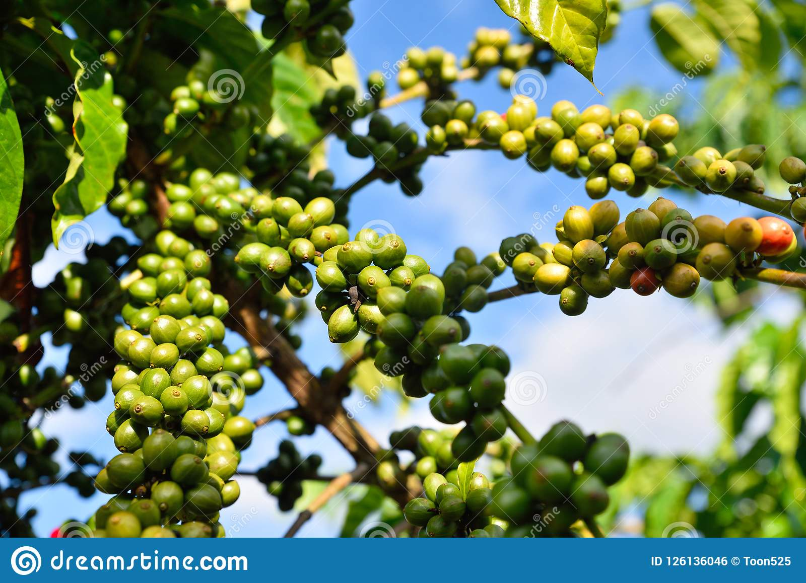 Green Coffee Beans On Tree Stock Photo Image Of Blur 126136046