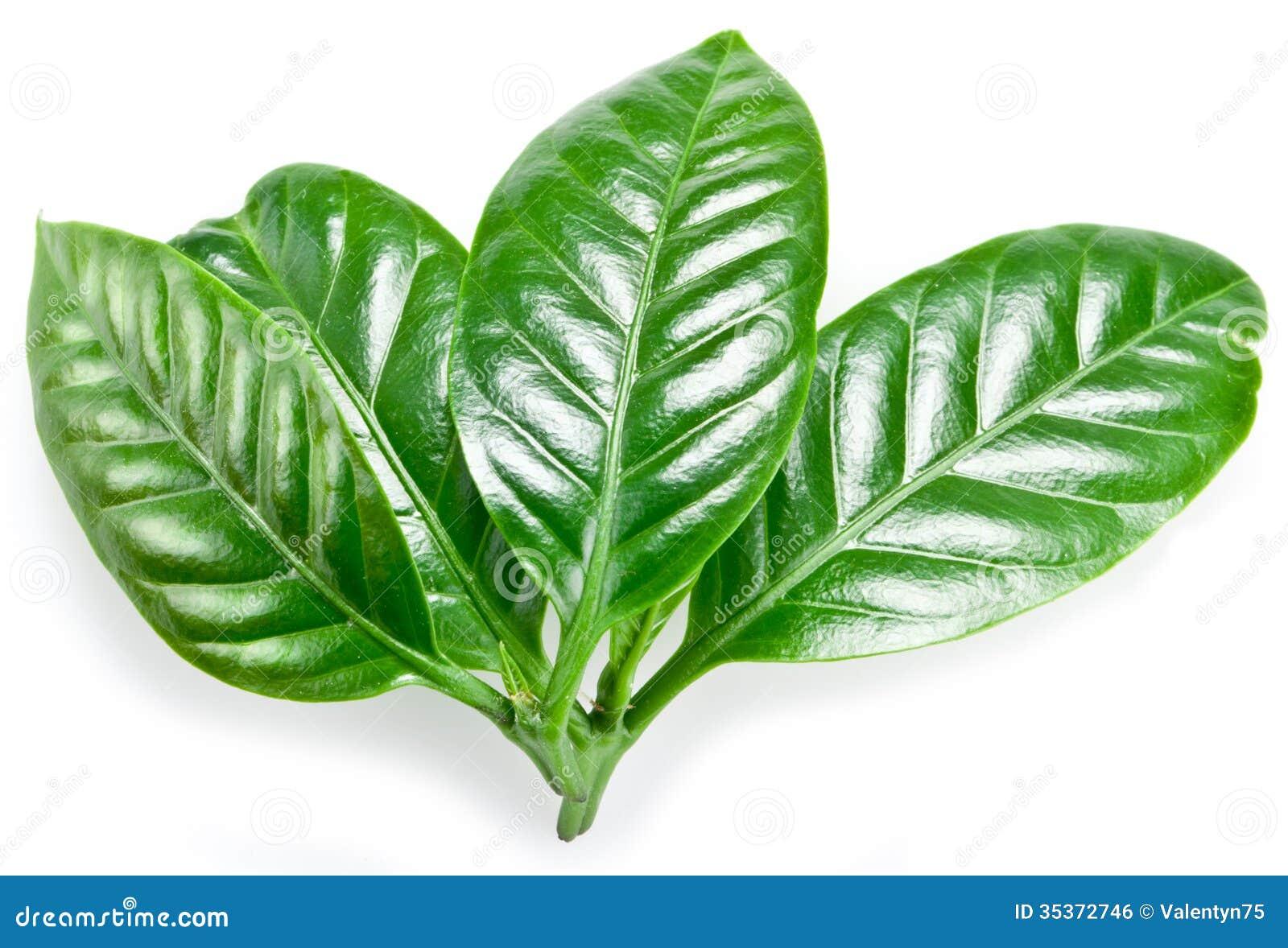 how to make a coffee leaf