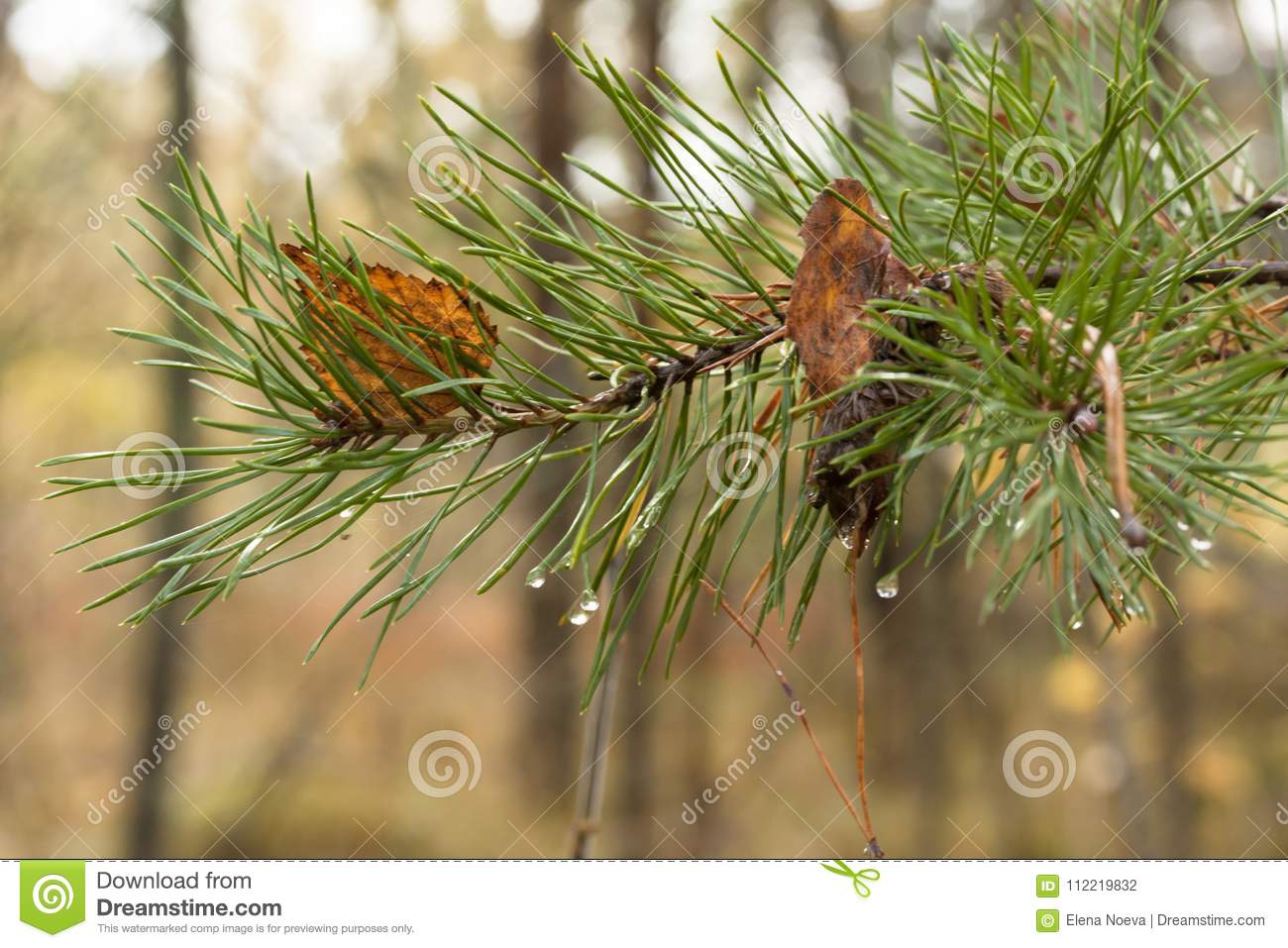 Green coniferous branch with drops of water and brown leaves close-up.