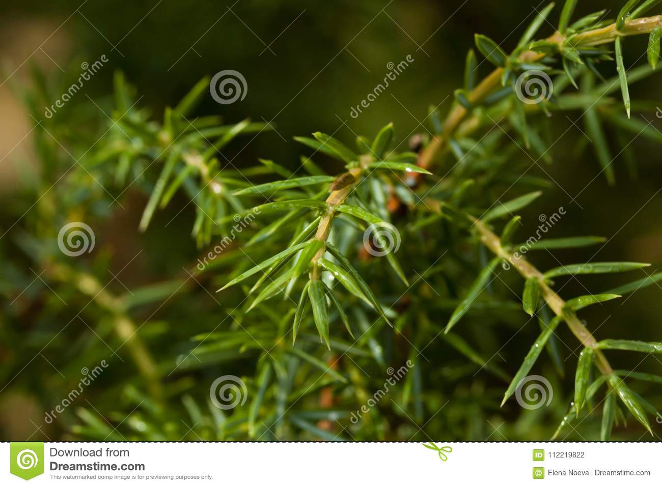 Green coniferous branch with drops of water close-up.