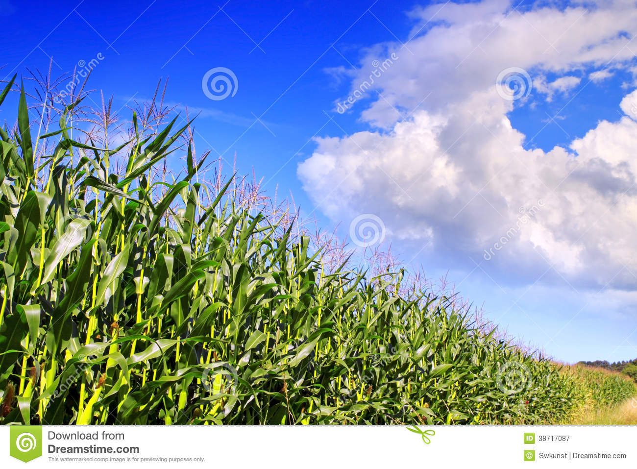 Green Corn Field And Blue Sky Background. Stock Image ...