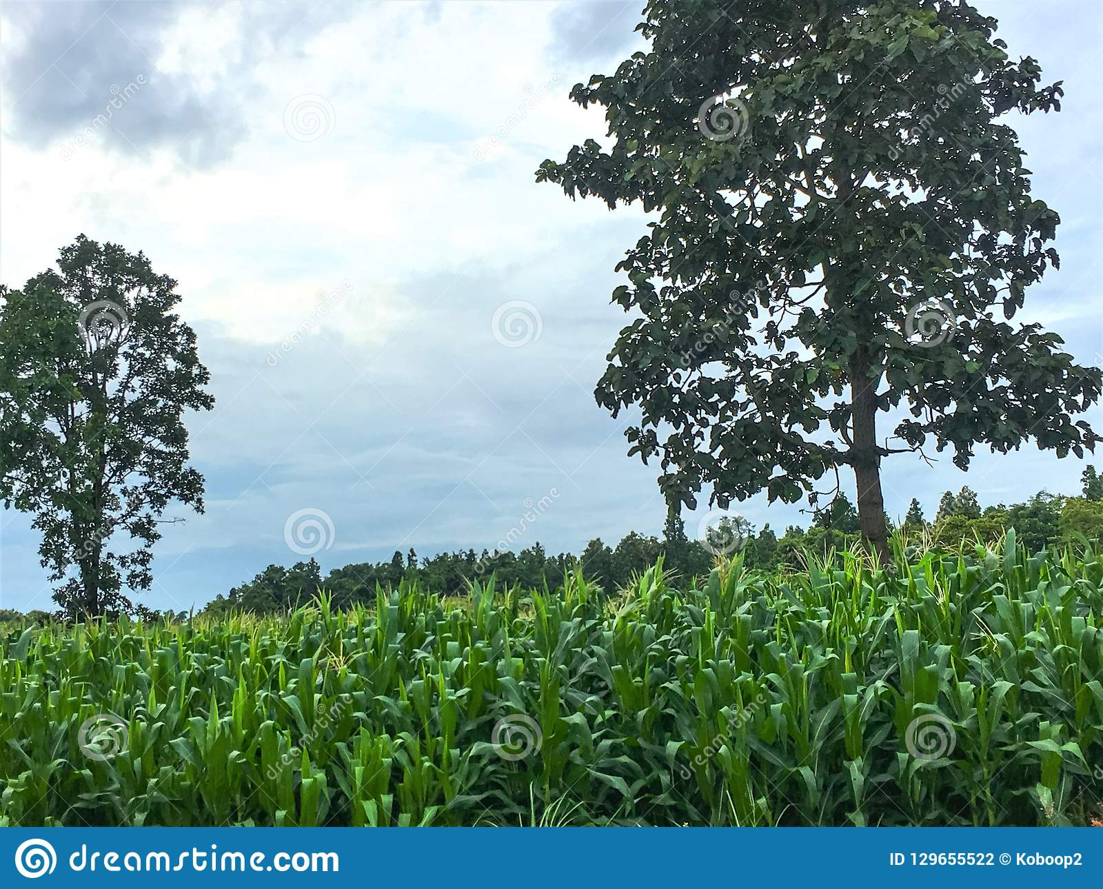 Green cornfields growing up in plantation