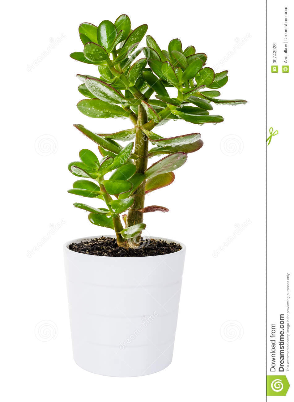 Green Crassula Or Money Tree In White Flower Pot Isolated Stock