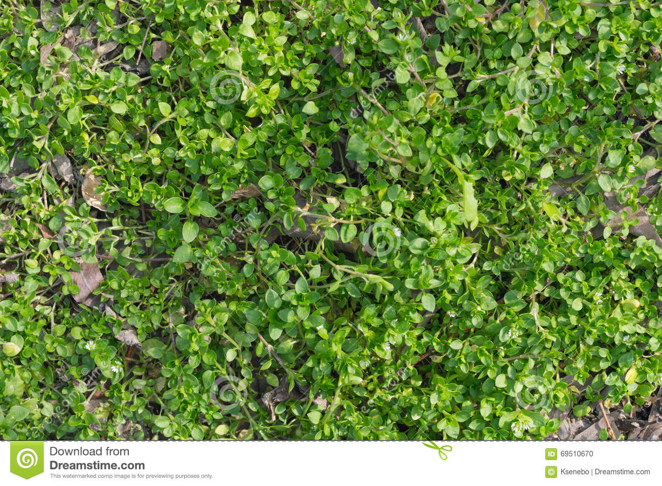 Green Creeper Plant Covering The Ground With Leaves Stock