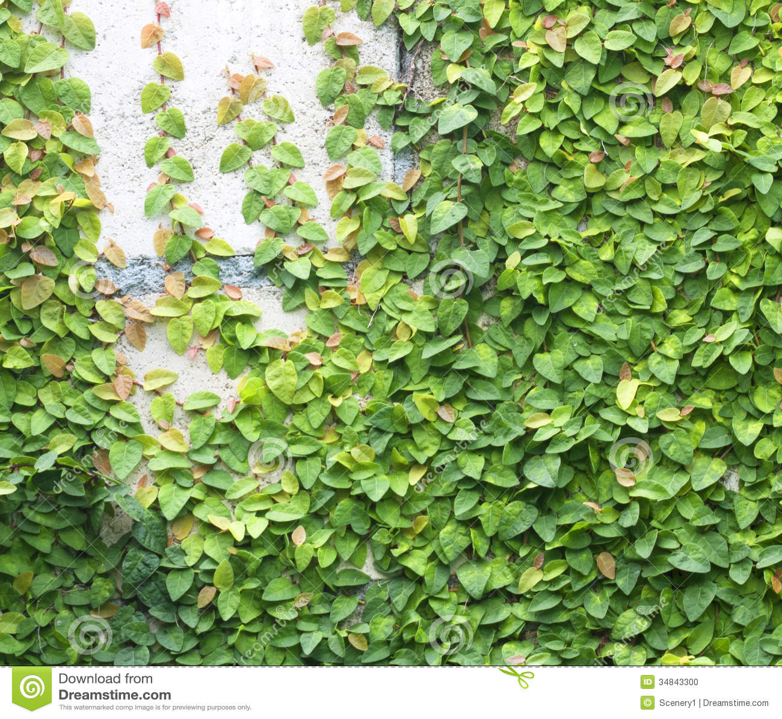 Green Creeper Stock Photo Image 34843300