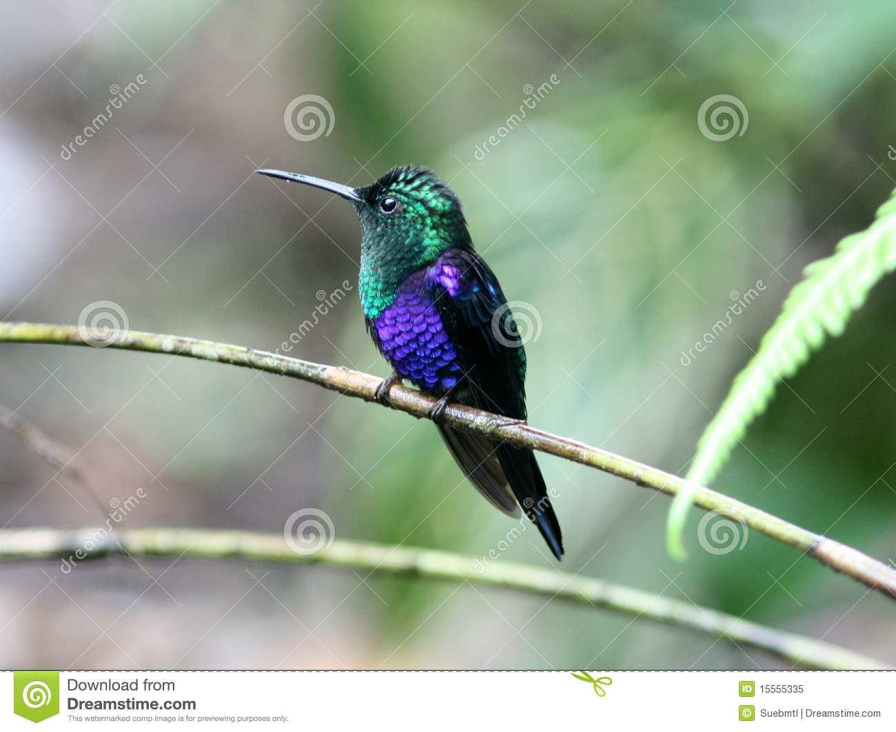 Green-crowned Woodnymph Hummingbird Royalty Free Stock Photo - Image ...