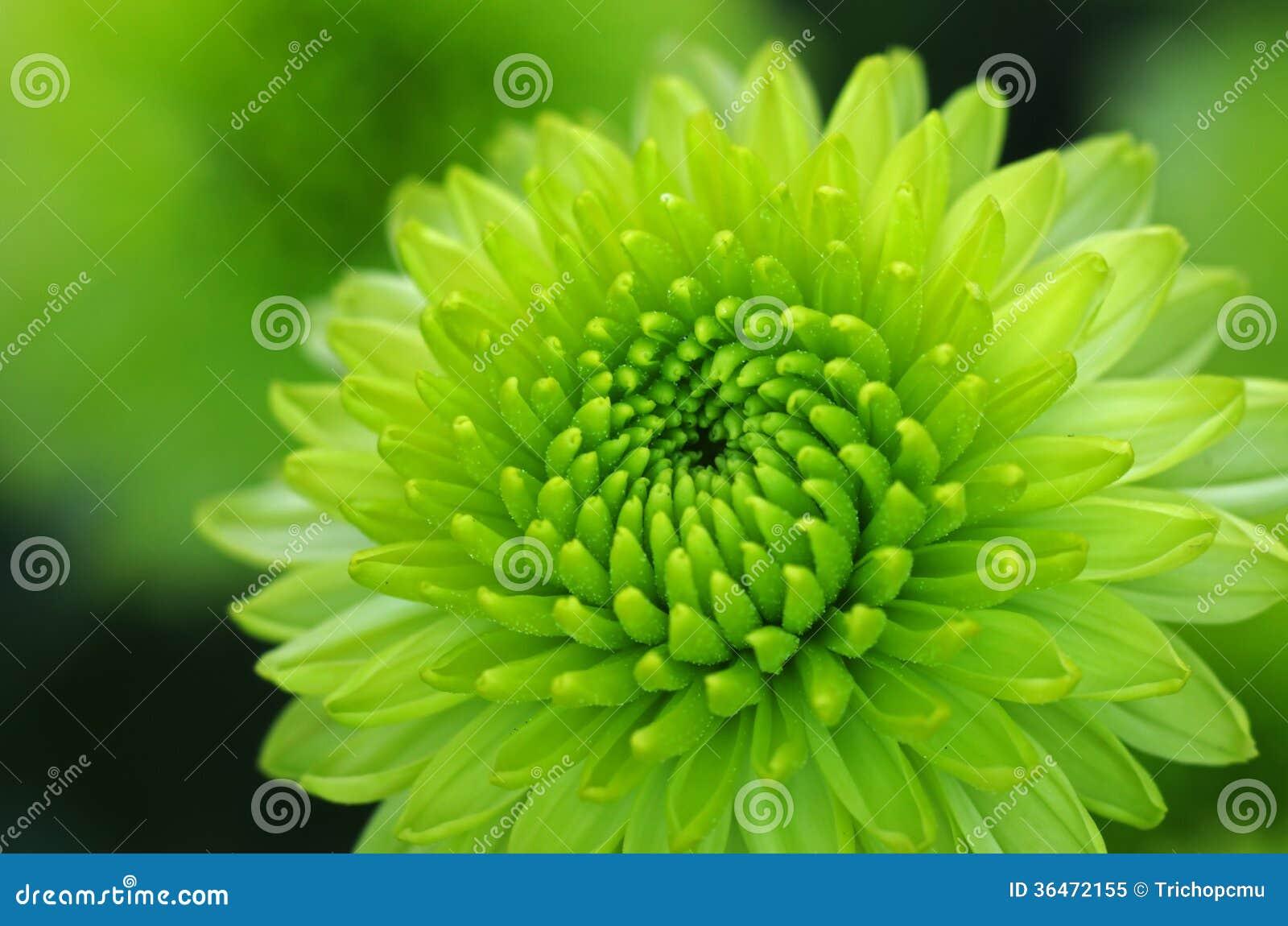 Green Dahlia Flower Close Up Royalty Free Stock Photo ...