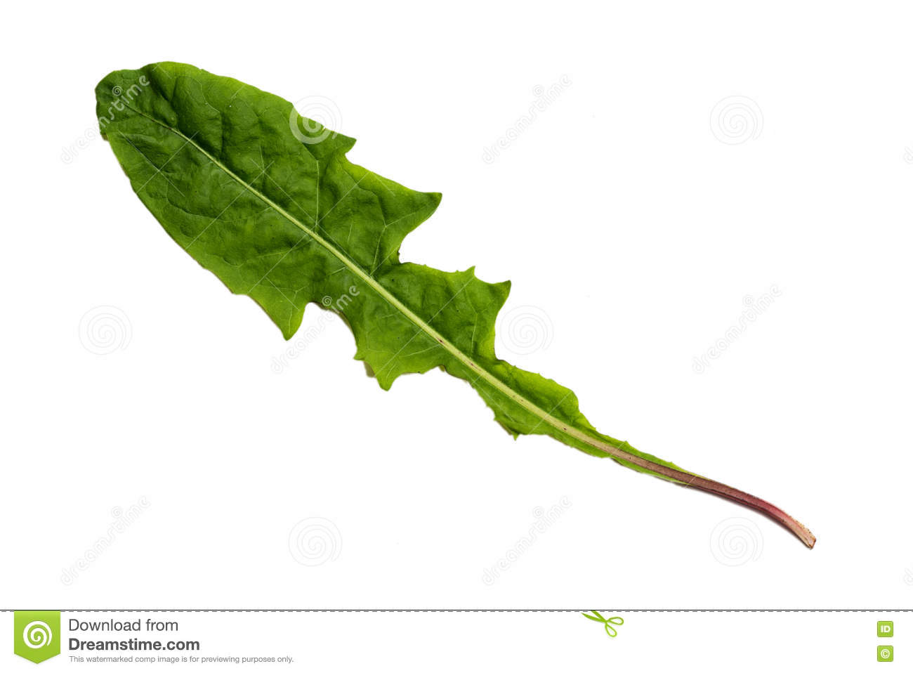 Green Dandelion Leaf with Texture isolated on White Background.