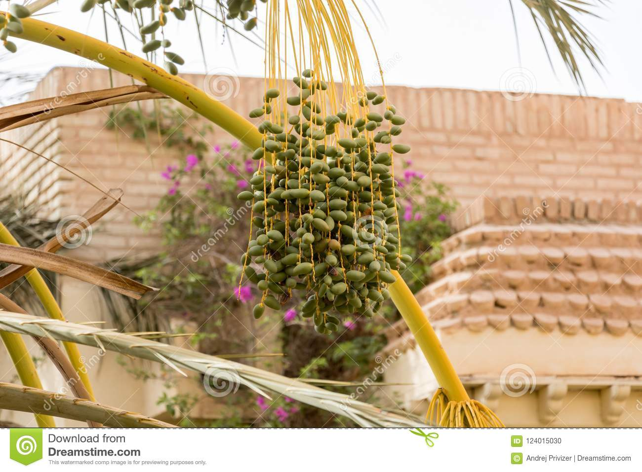 Detail of dates on palm tree, Tunisia, Africa
