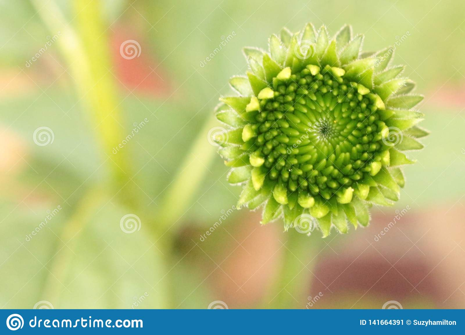 Young Echinacea flower head lime green with a blurred pastel background.