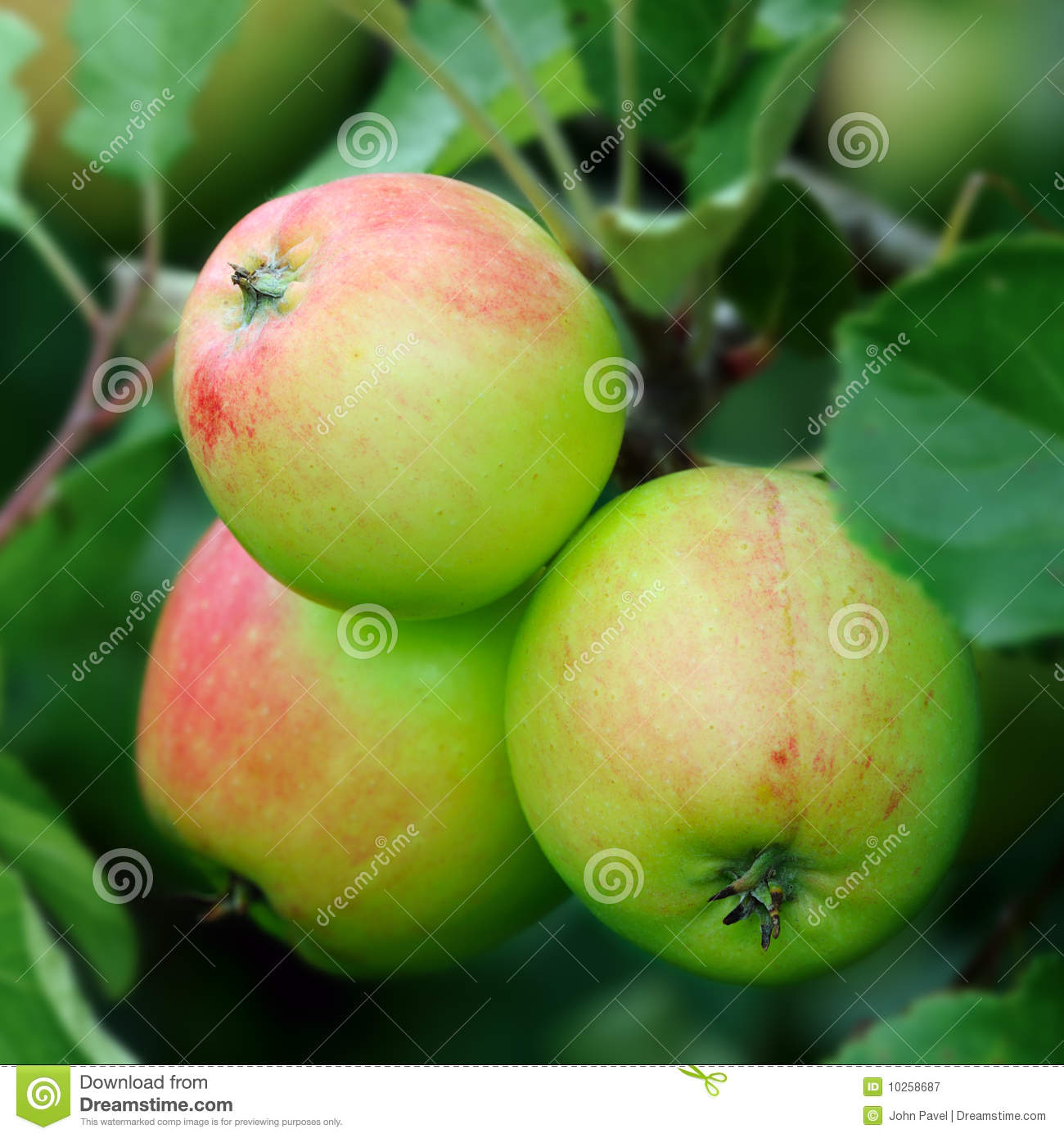 Green English apples, with a red blush, ripening
