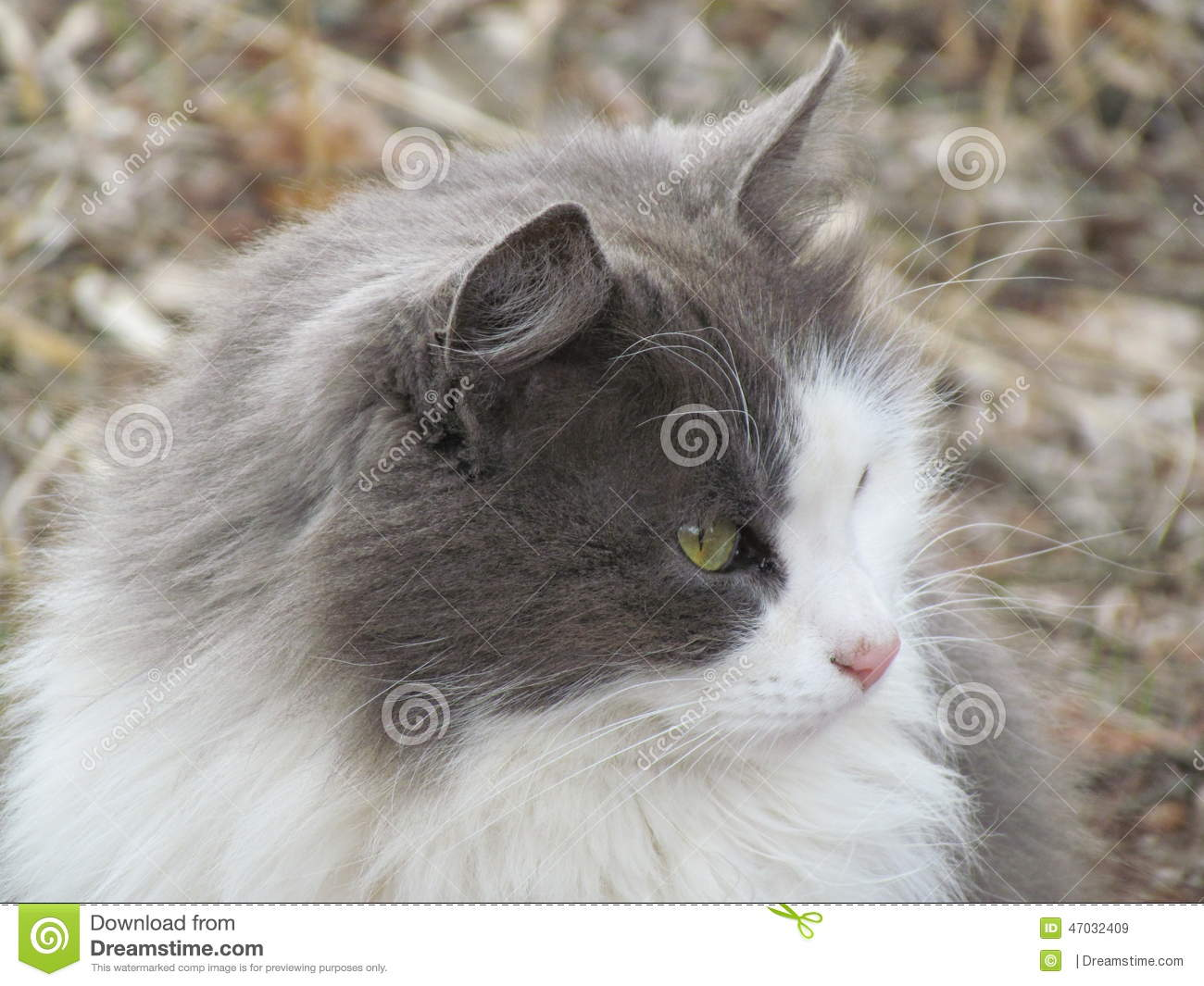 Green eyed grey cat looks stock image Image of emerald