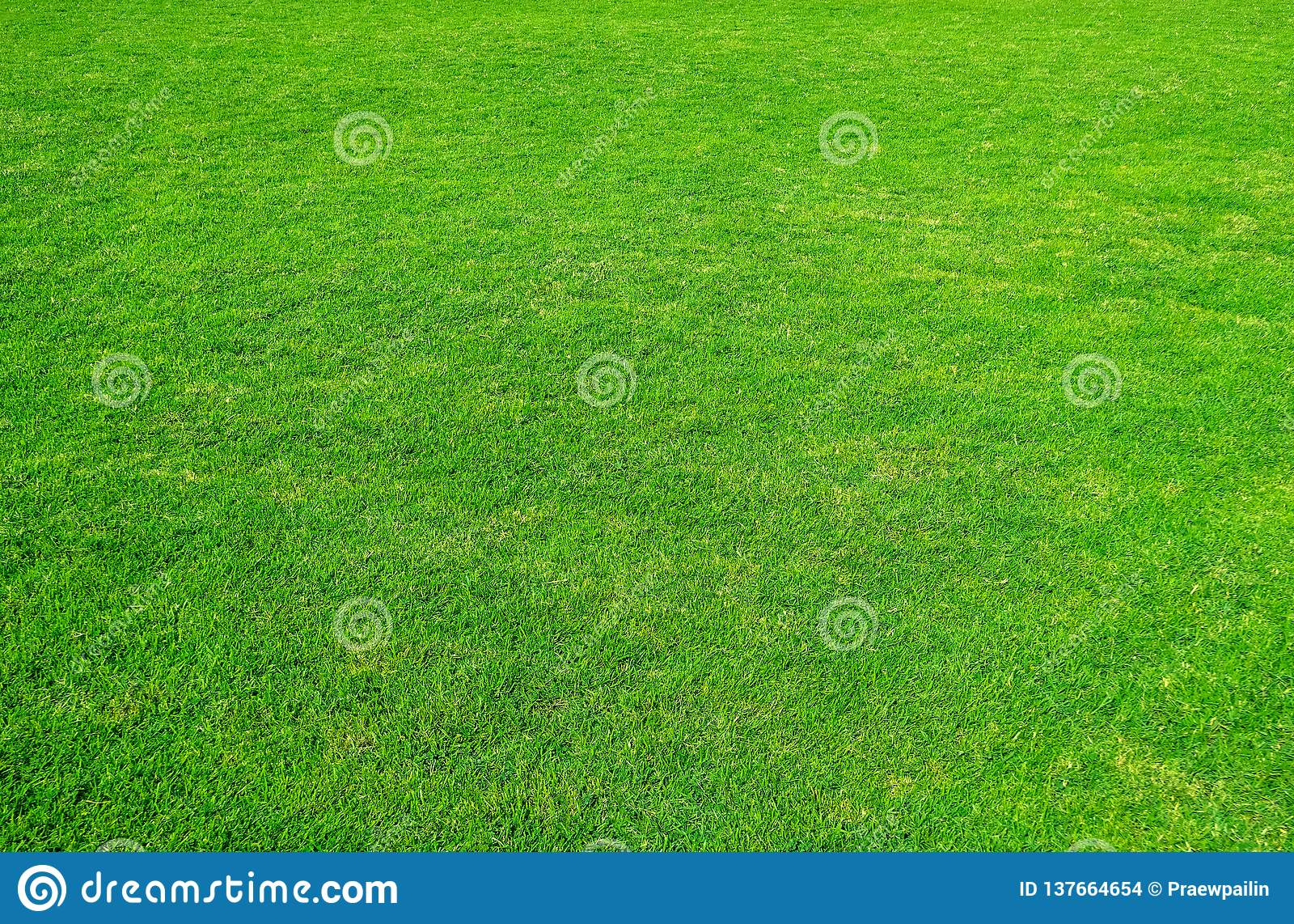 Green för bakgrundsfältgräs Modell och textur för grönt gräs Grön gräsmatta för bakgrund