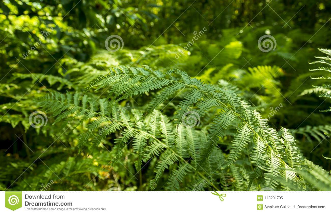 Green Fern In Forest With Blurry Background Stock Image