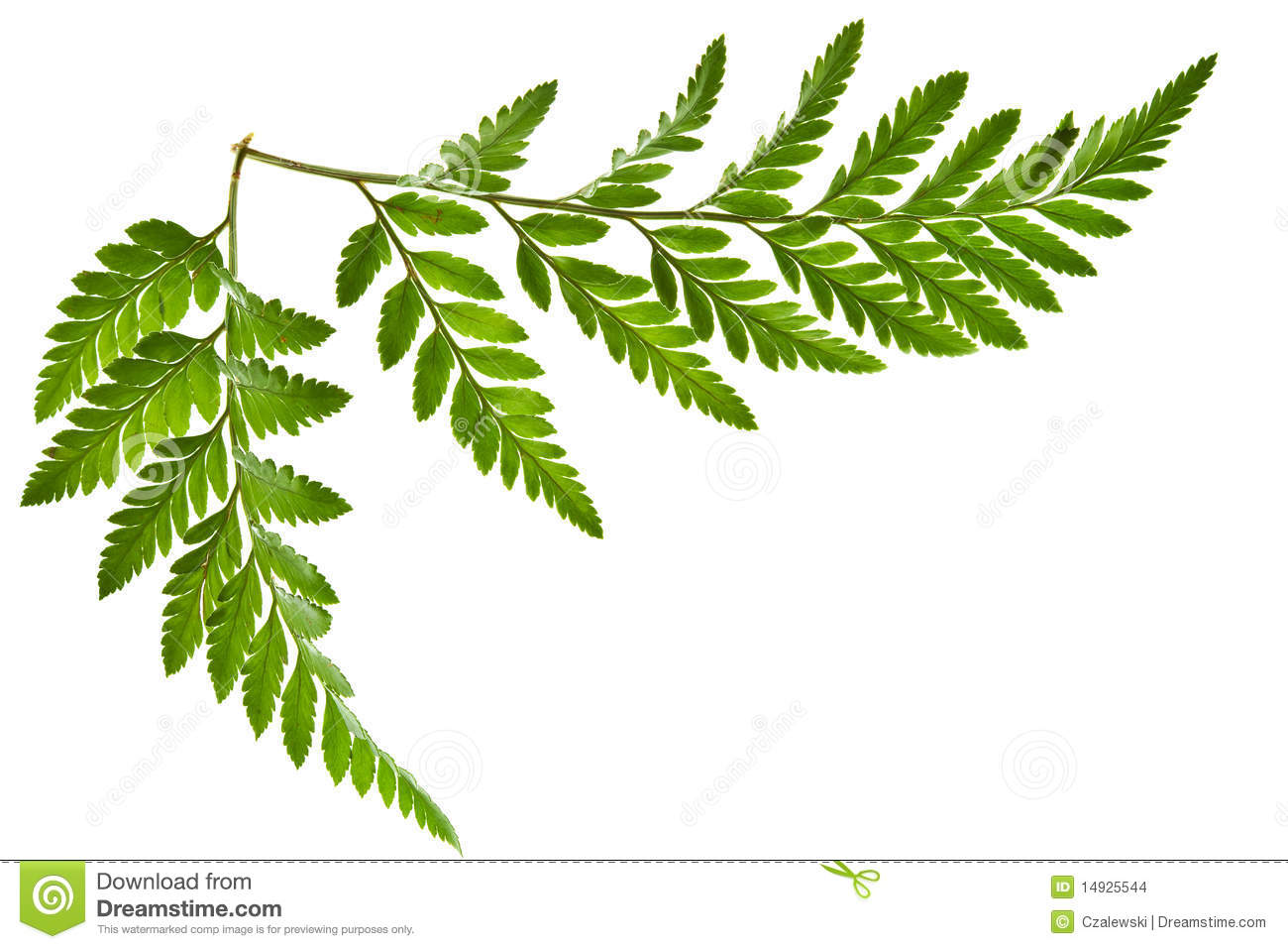 Stock Images: Green fern leaf isolated. Image: 14925544