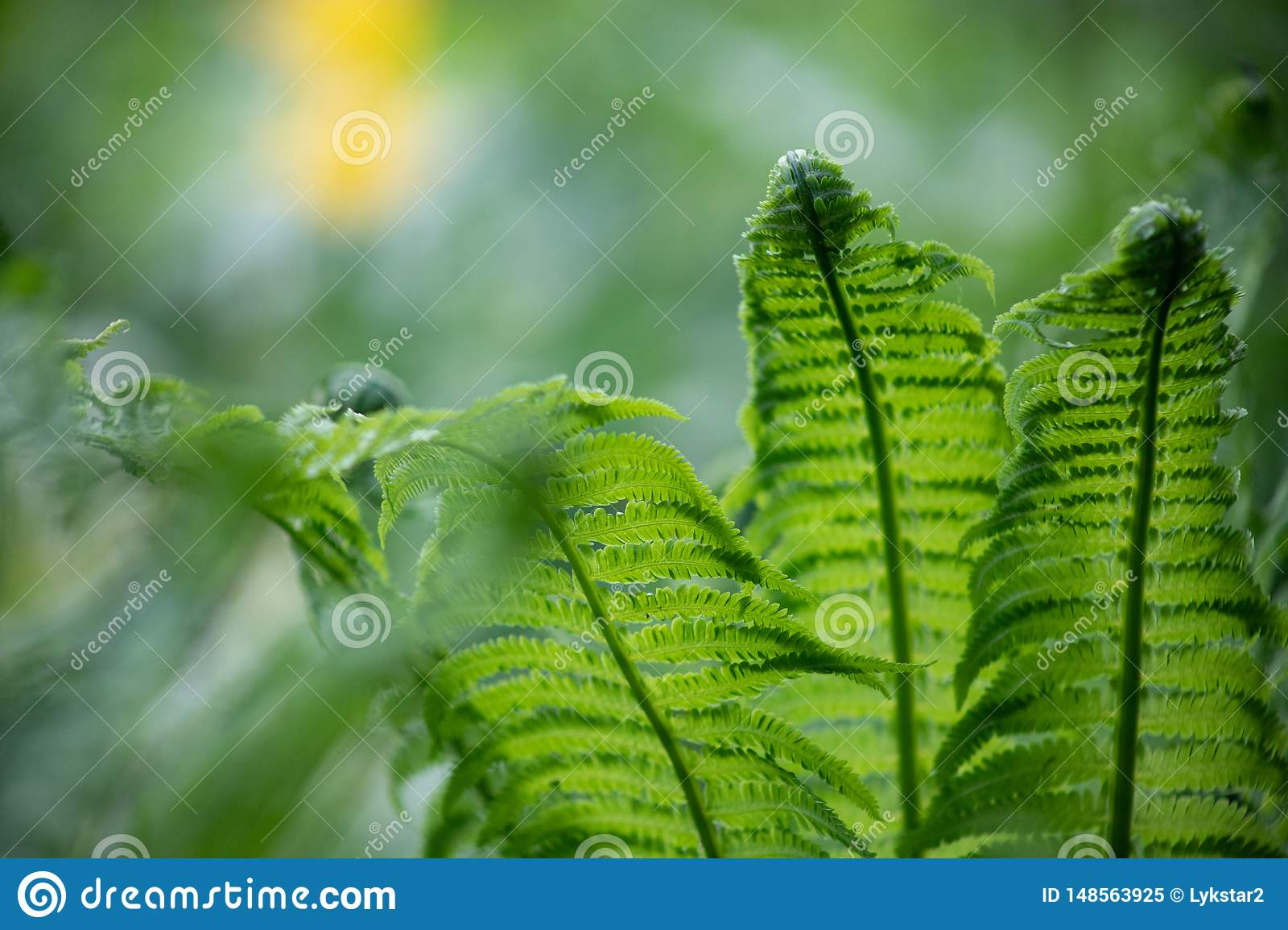 Green fern leaves close-up Blurred natural background