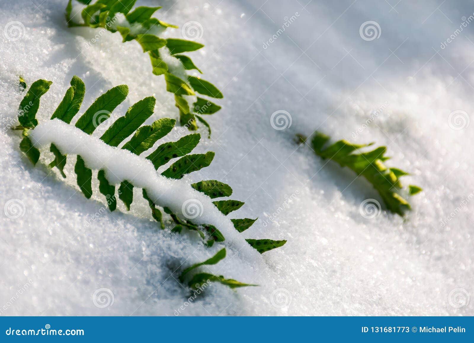 green fern leaves in snow