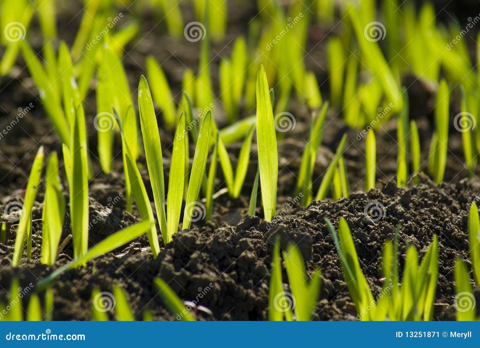 Green field grain growing