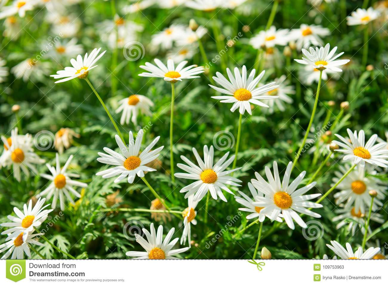 Green field with many white flowers