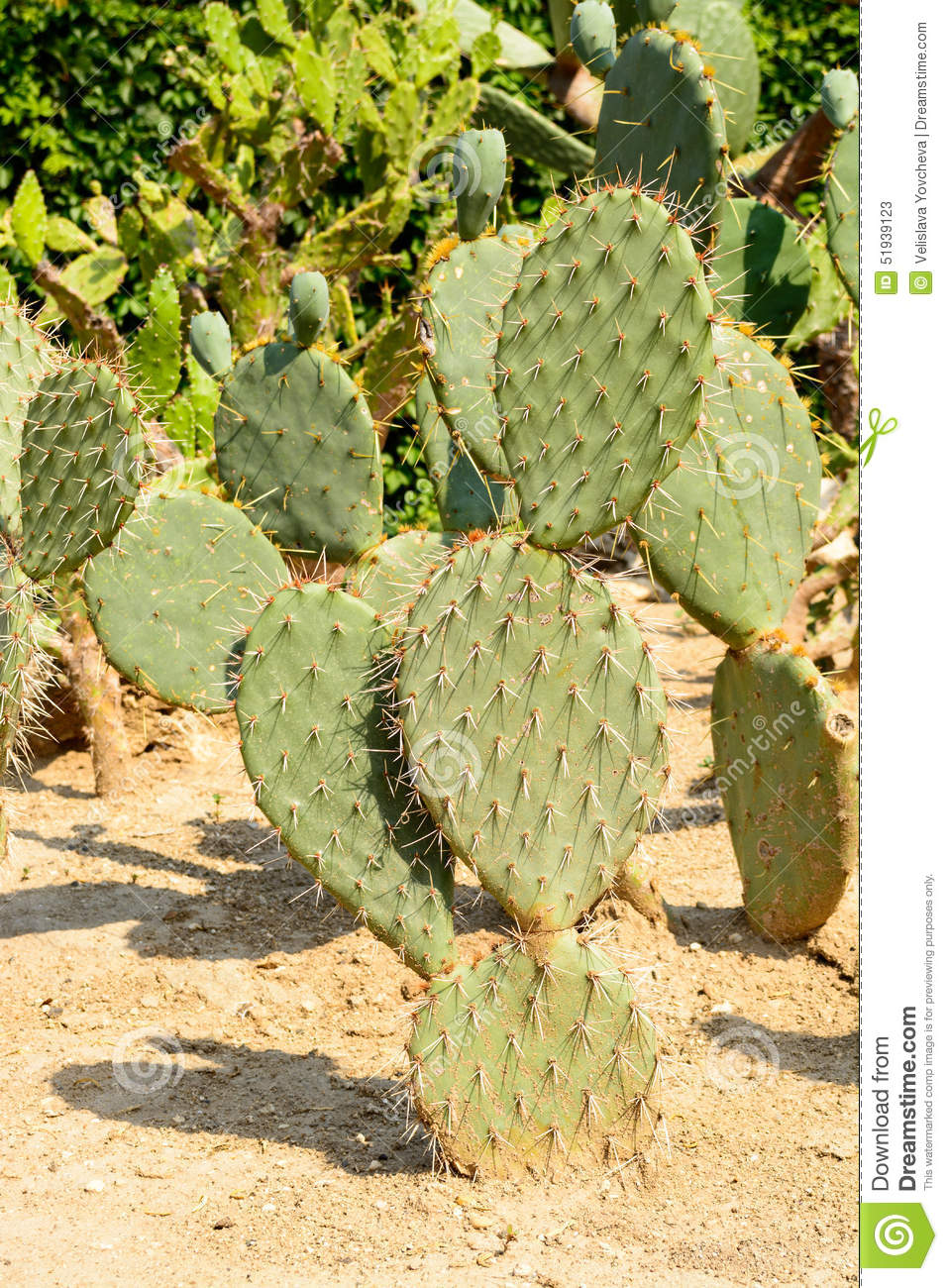 Green Flat Rounded Cladodes Of Opuntia Cactus Stock Photo ...
