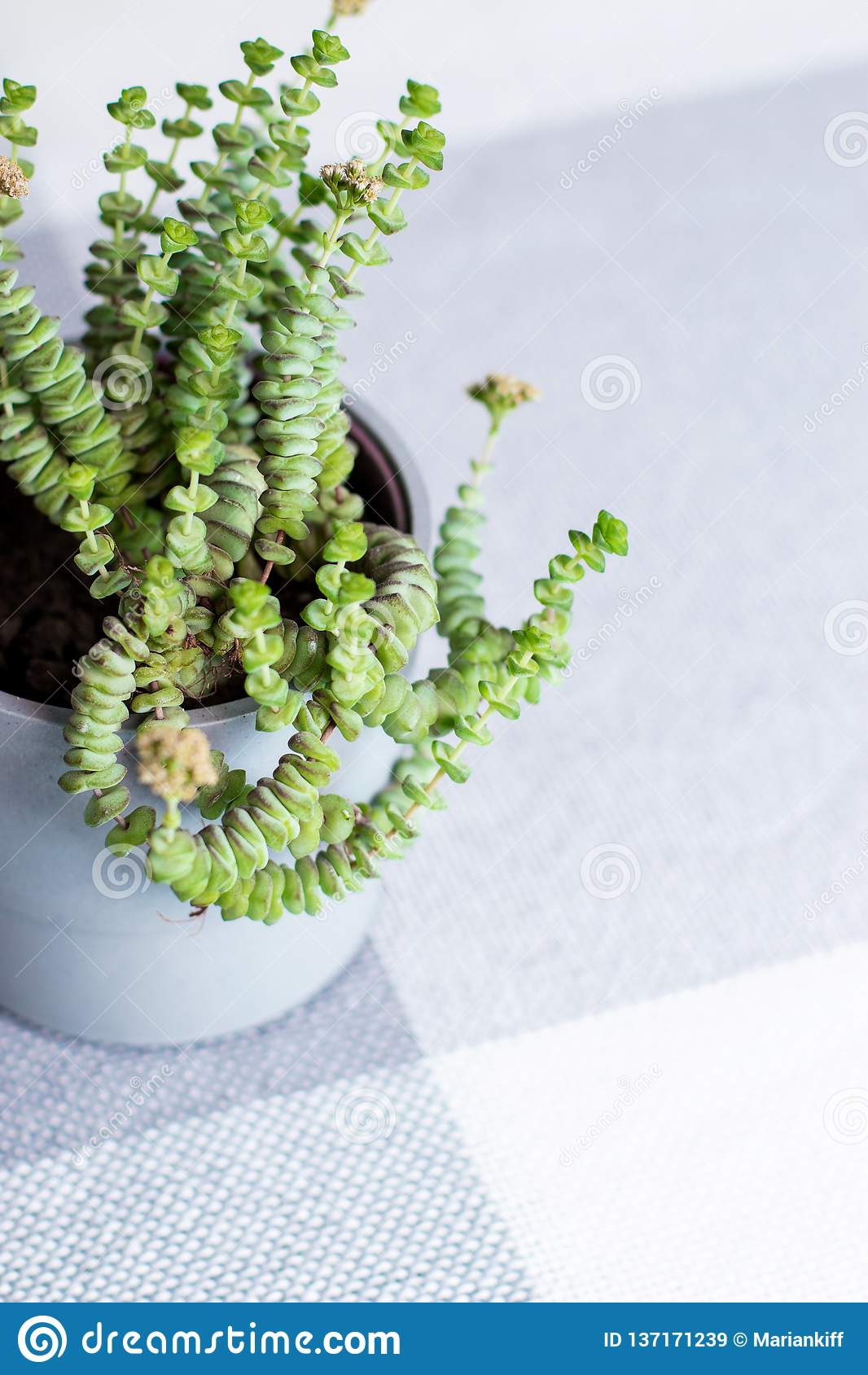 Green Flower Crassula Nealeana Rare Succulent Plant In A Grey Pot Home Interior Decoration Concept Stock Image Image Of Desert Cotyledon 137171239