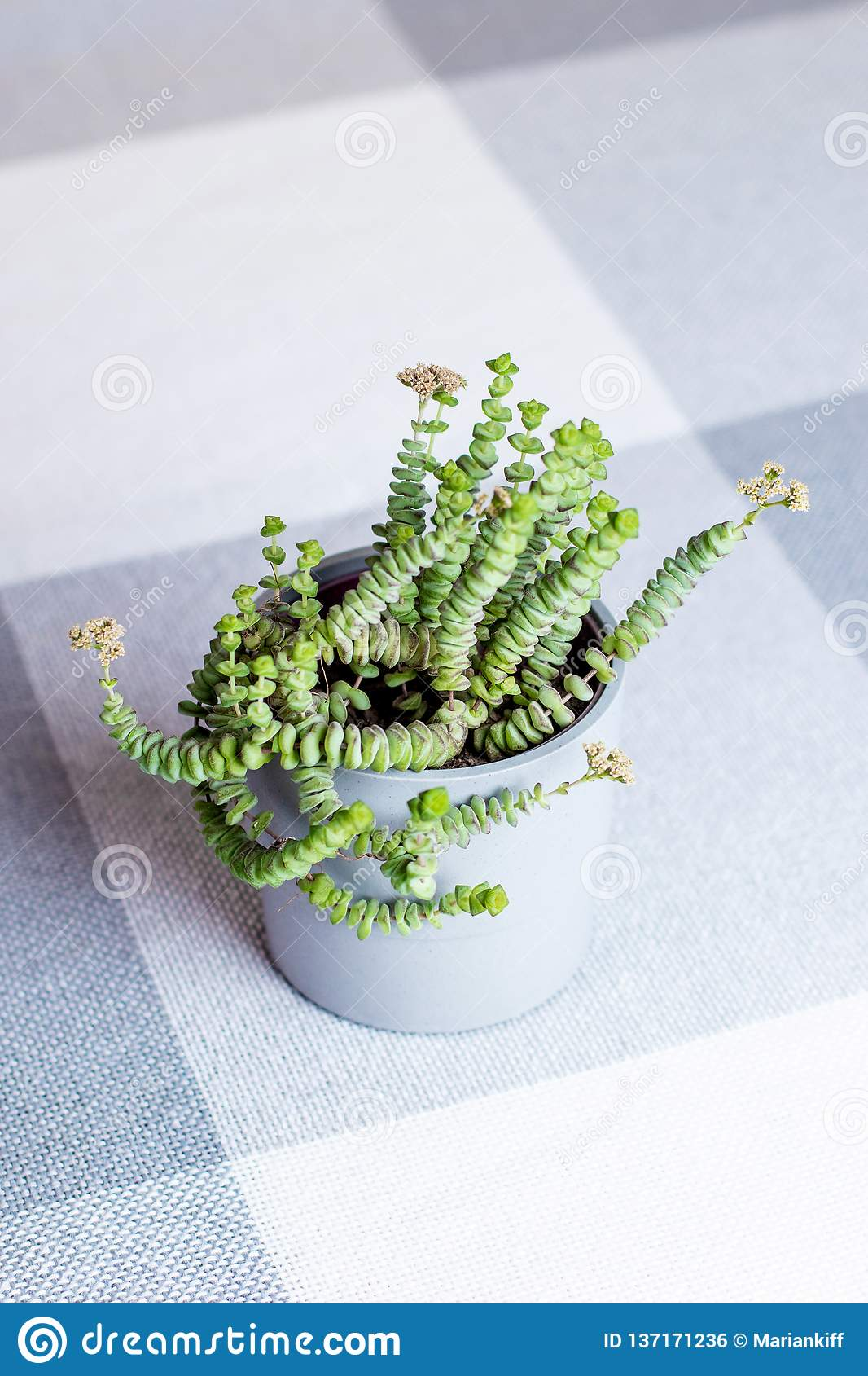Green flower, Crassula Nealeana, succulent plant with string type leaves in a grey pot, indoors