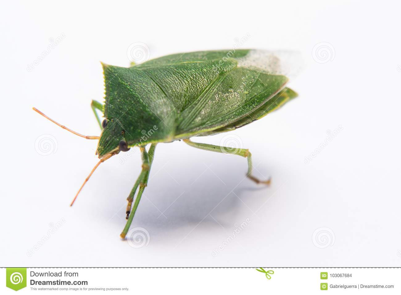 Green flying bug percevejo stock photo  Image of destroyer