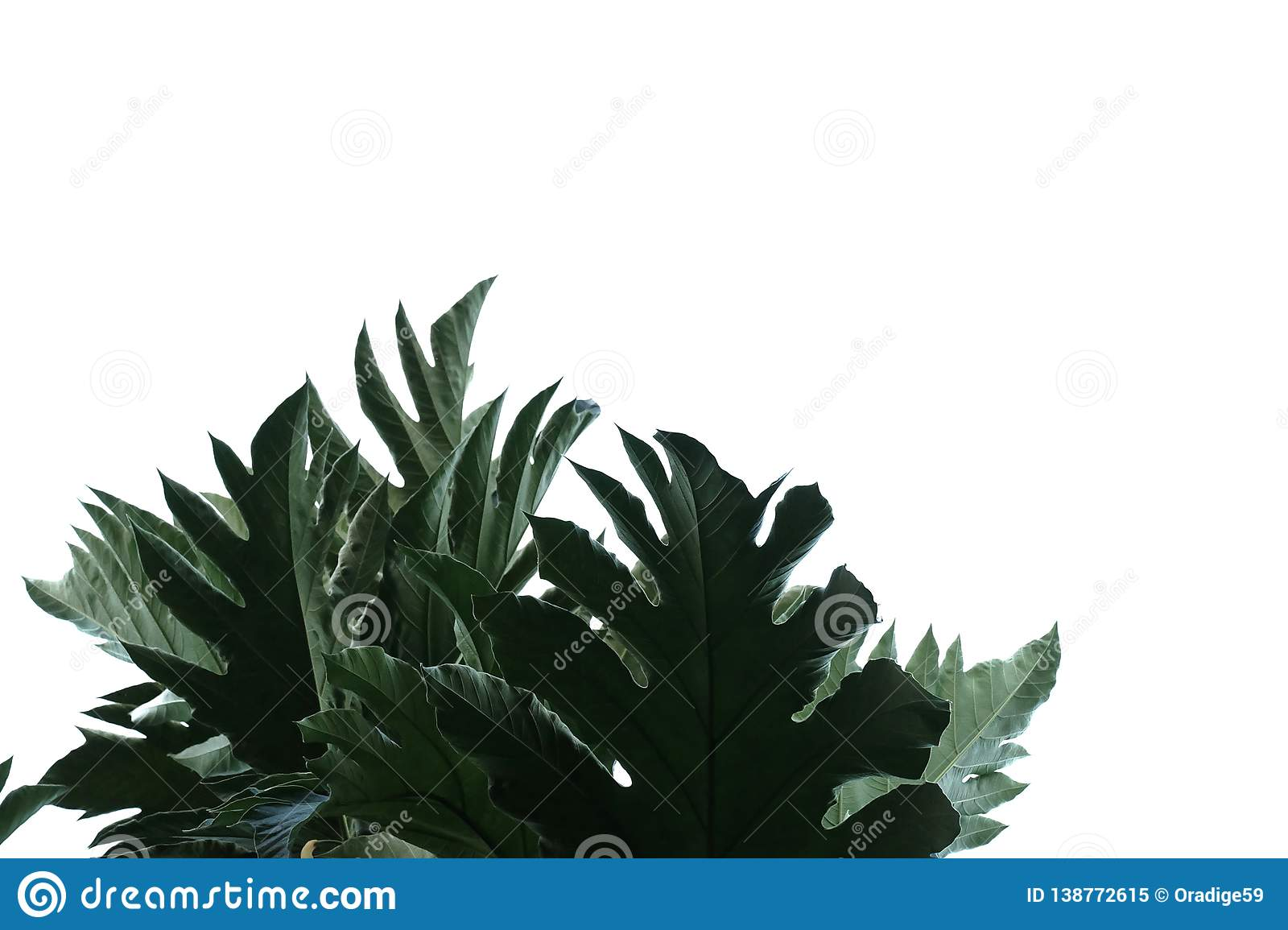 Picture Of Breadfruit Leaf