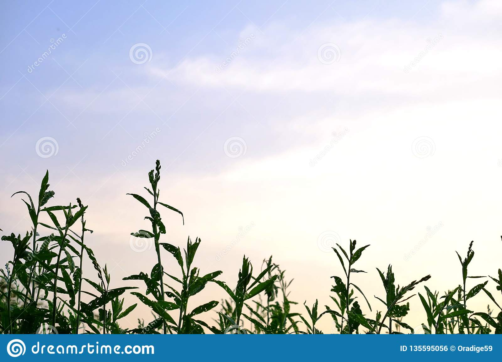 Tropical plant growing in a garden with blue sky white clouds in bright day