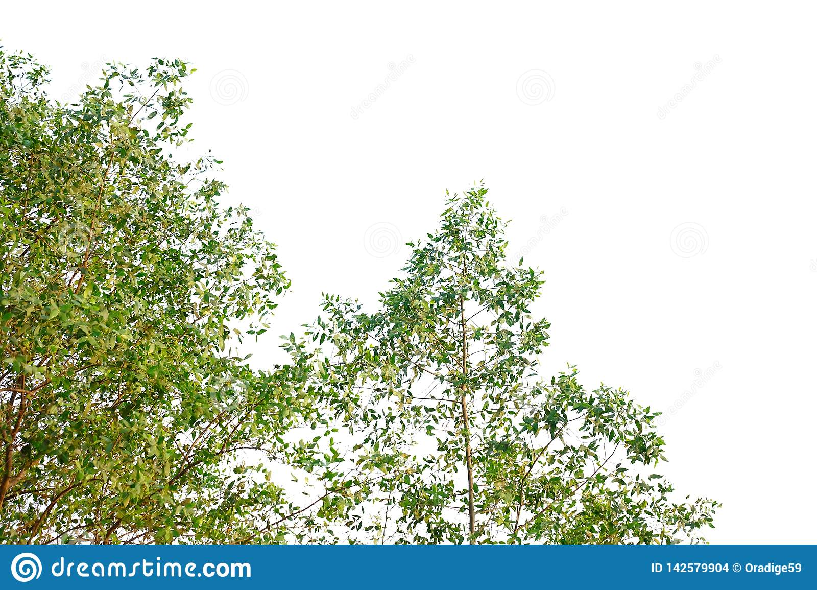 Tropical tree leaves with branches on white isolated background