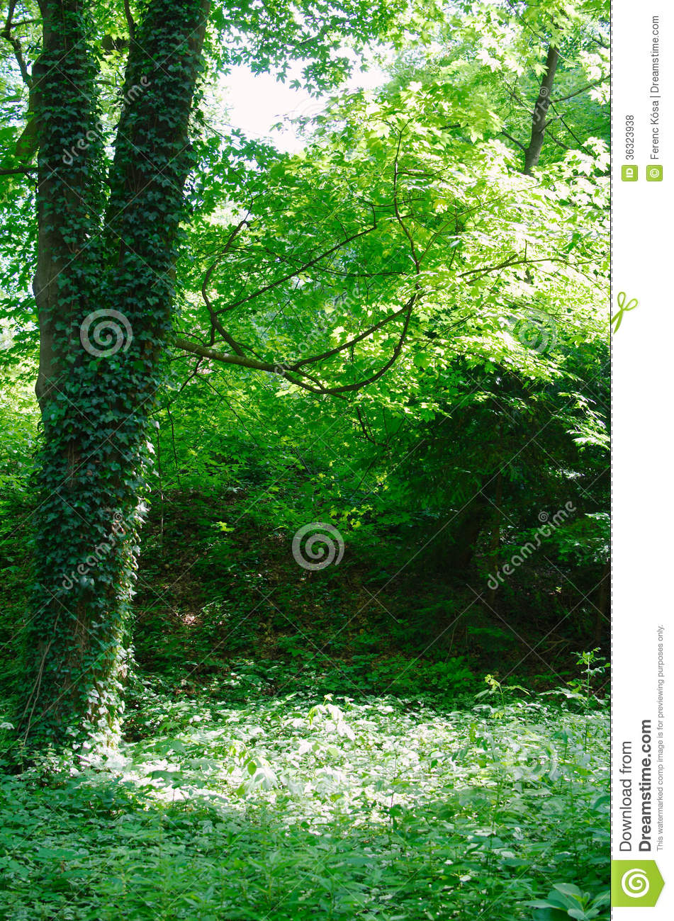 Green Forest Clearing Royalty Free Stock Photos Image