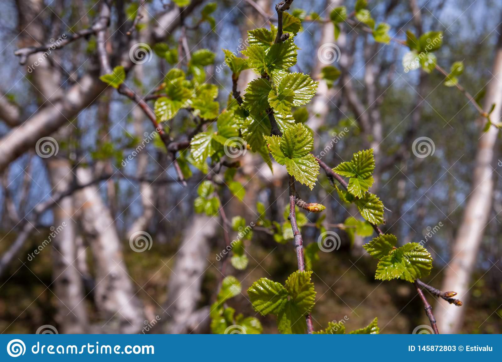 Green fresh birch leaves in the spring. Green fresh baby birch leaves in the spring stock photos