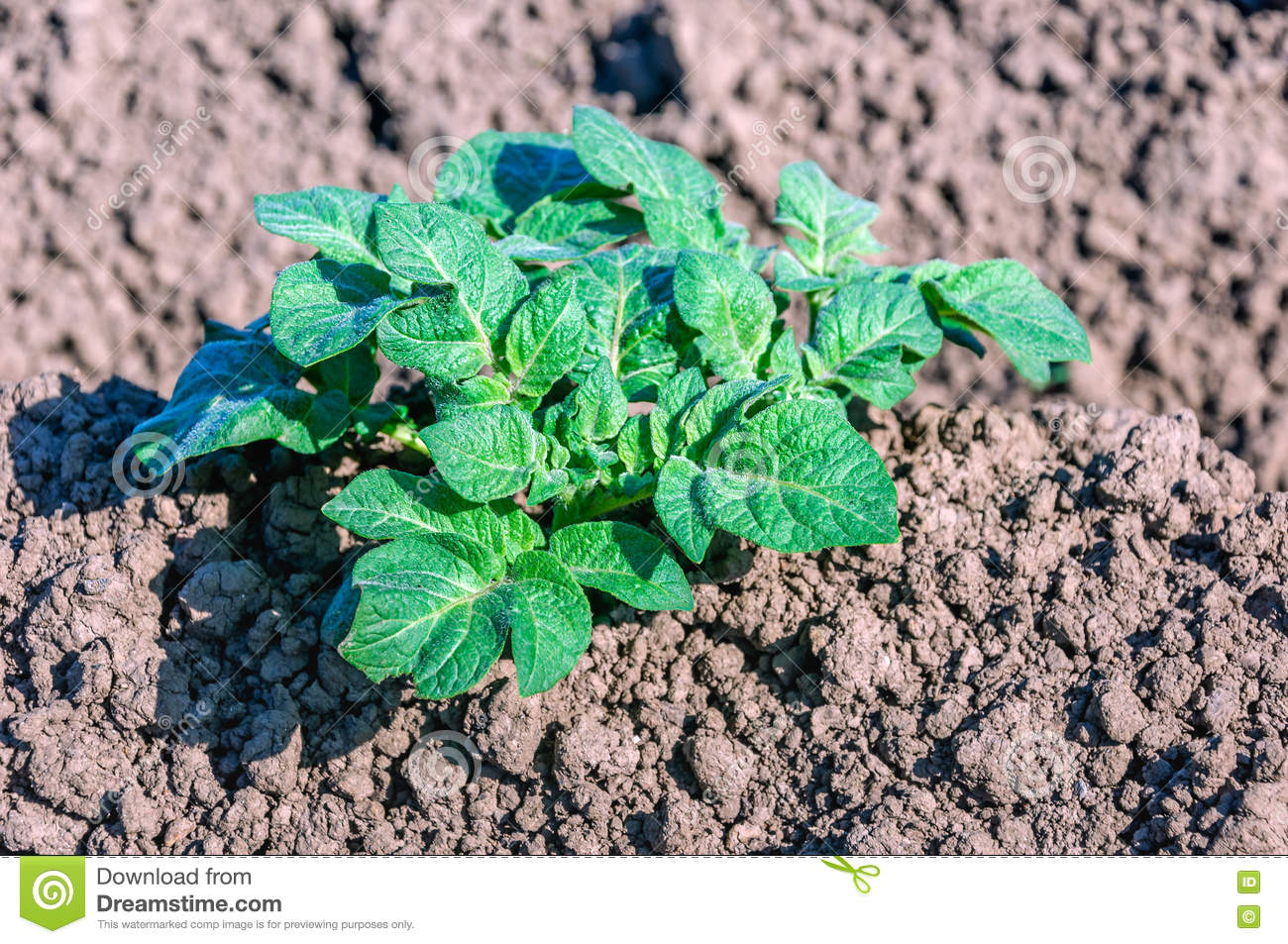 Green fresh young potato plant growing in clay soil stock for Soil young s modulus
