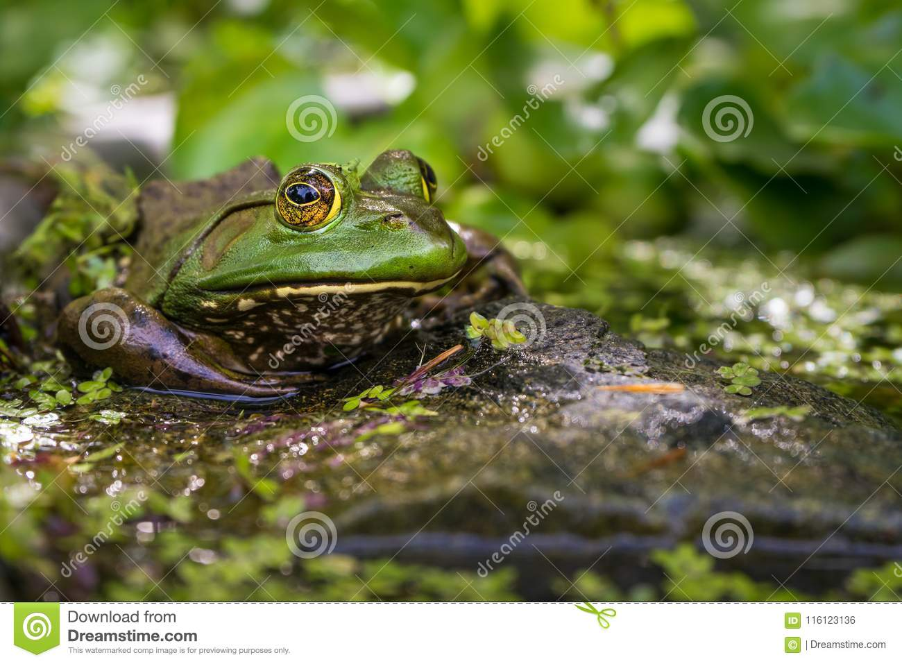 Green frog on the bank of a pond