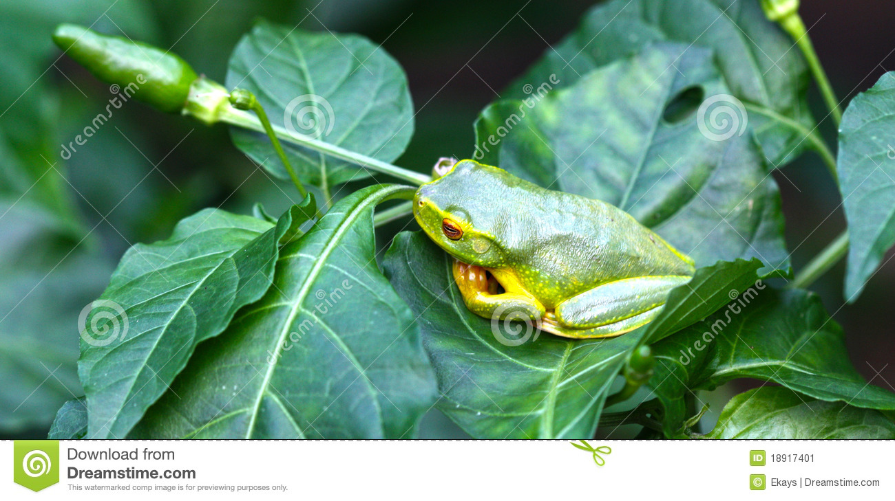 Green frog on chilli bush