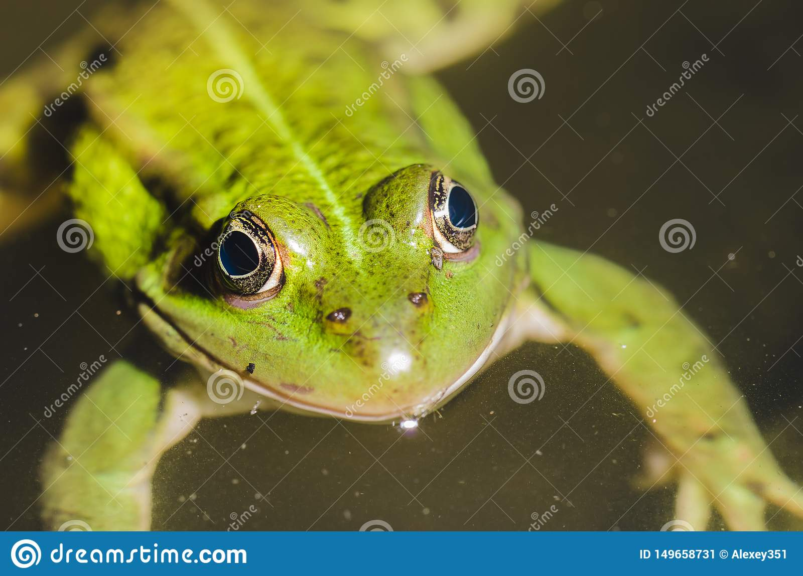 Green frog close up on water/green frog close up on water, top view