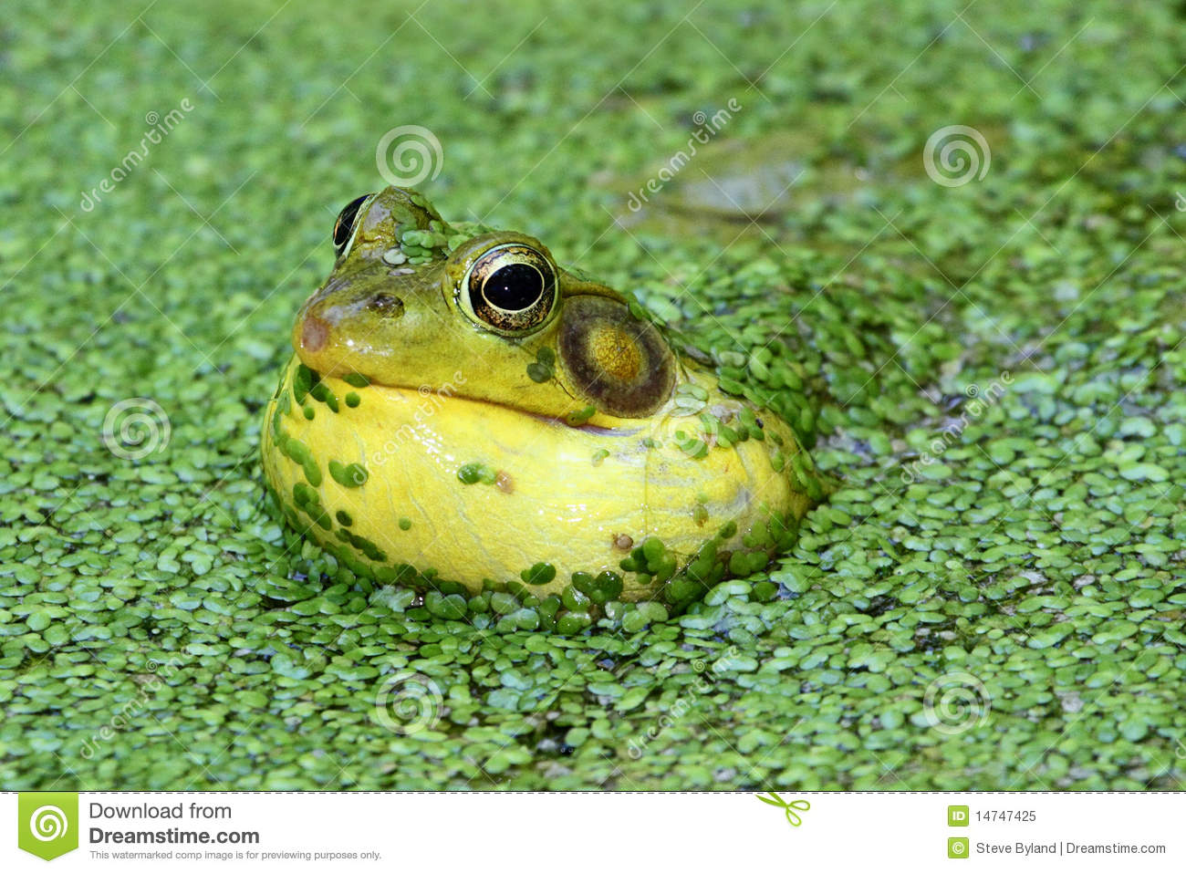 L Clamitans Green Frog In A Pond R...