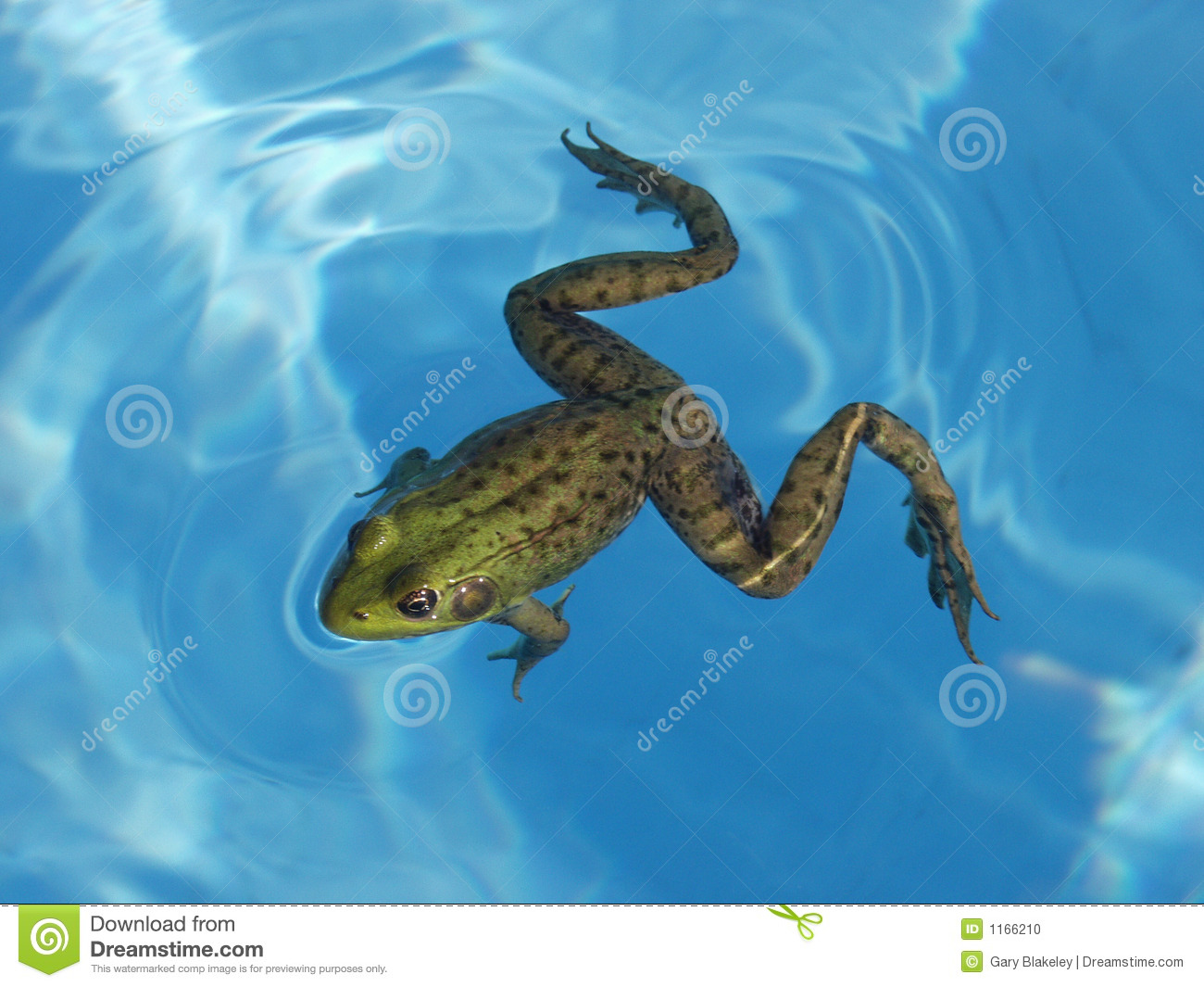 L Clamitans Green Frog In A Pool S...
