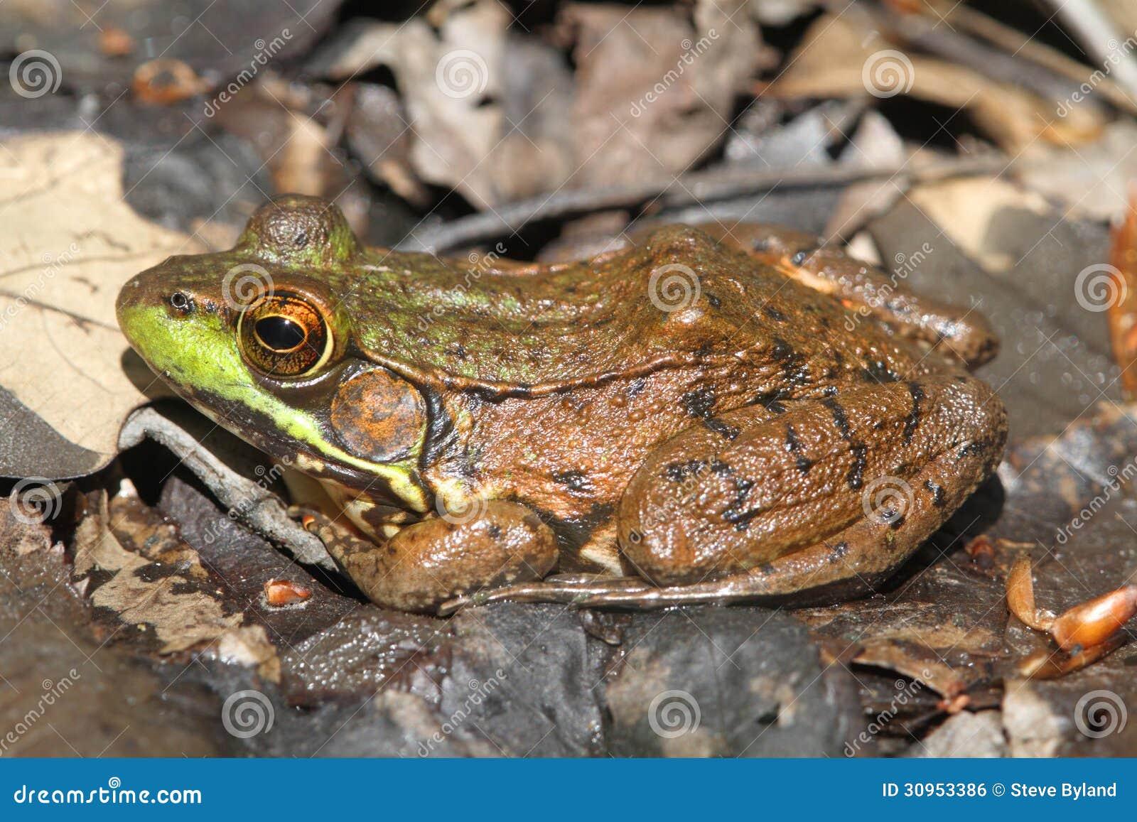 L Clamitans Green Frog (Rana Clami...