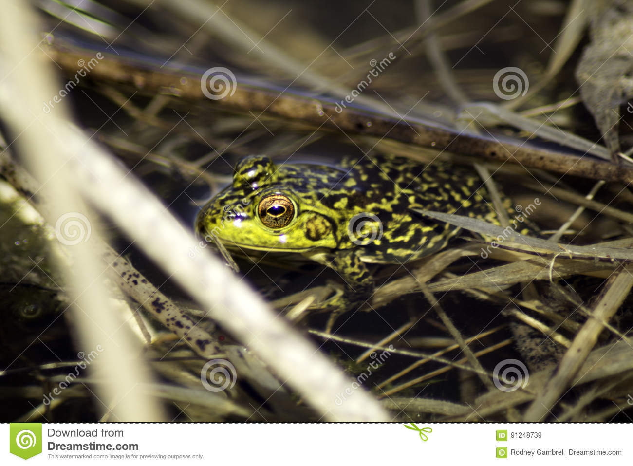 Green Frog and Reeds