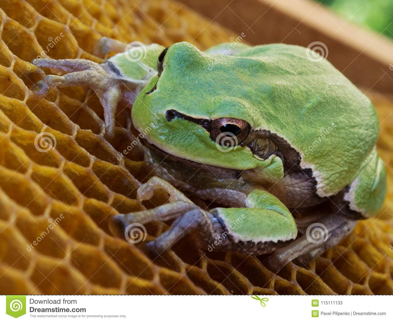 The Green Frog Sits On The Empty Wax Hives Stock Image