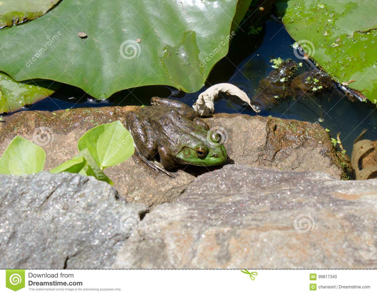 Green frog sitting on rock