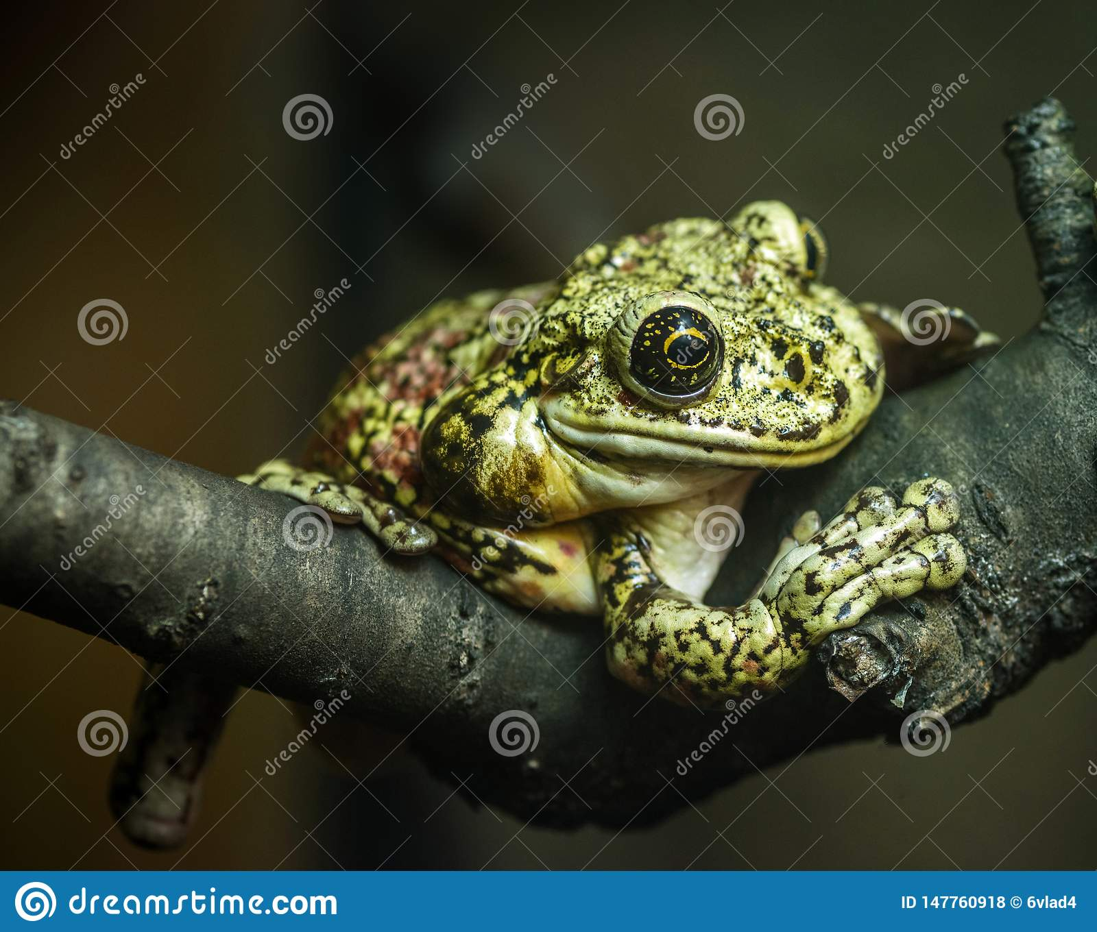 Green frog sitting on a tree branch on a dark background