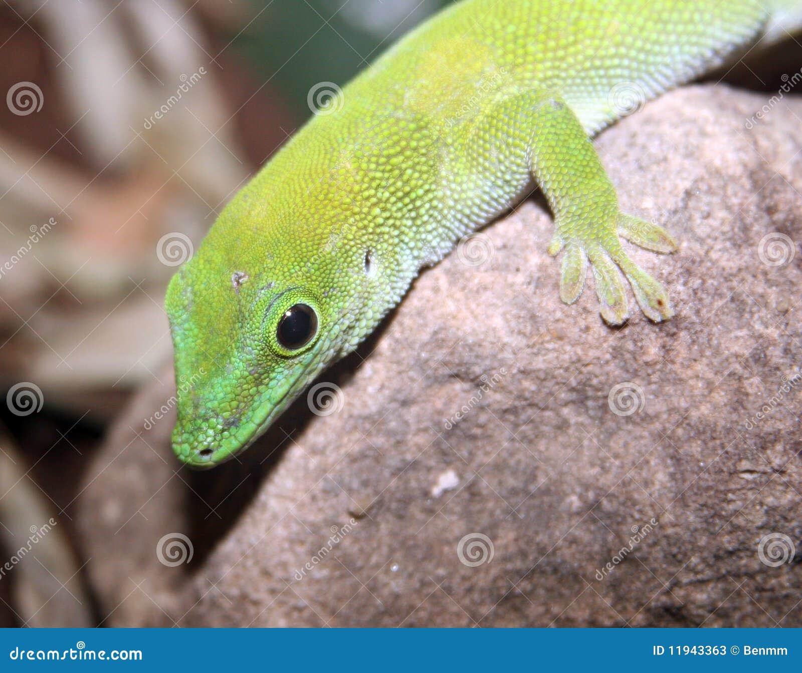 Green Gecko Lizard Stock Photos - Image: 11943363