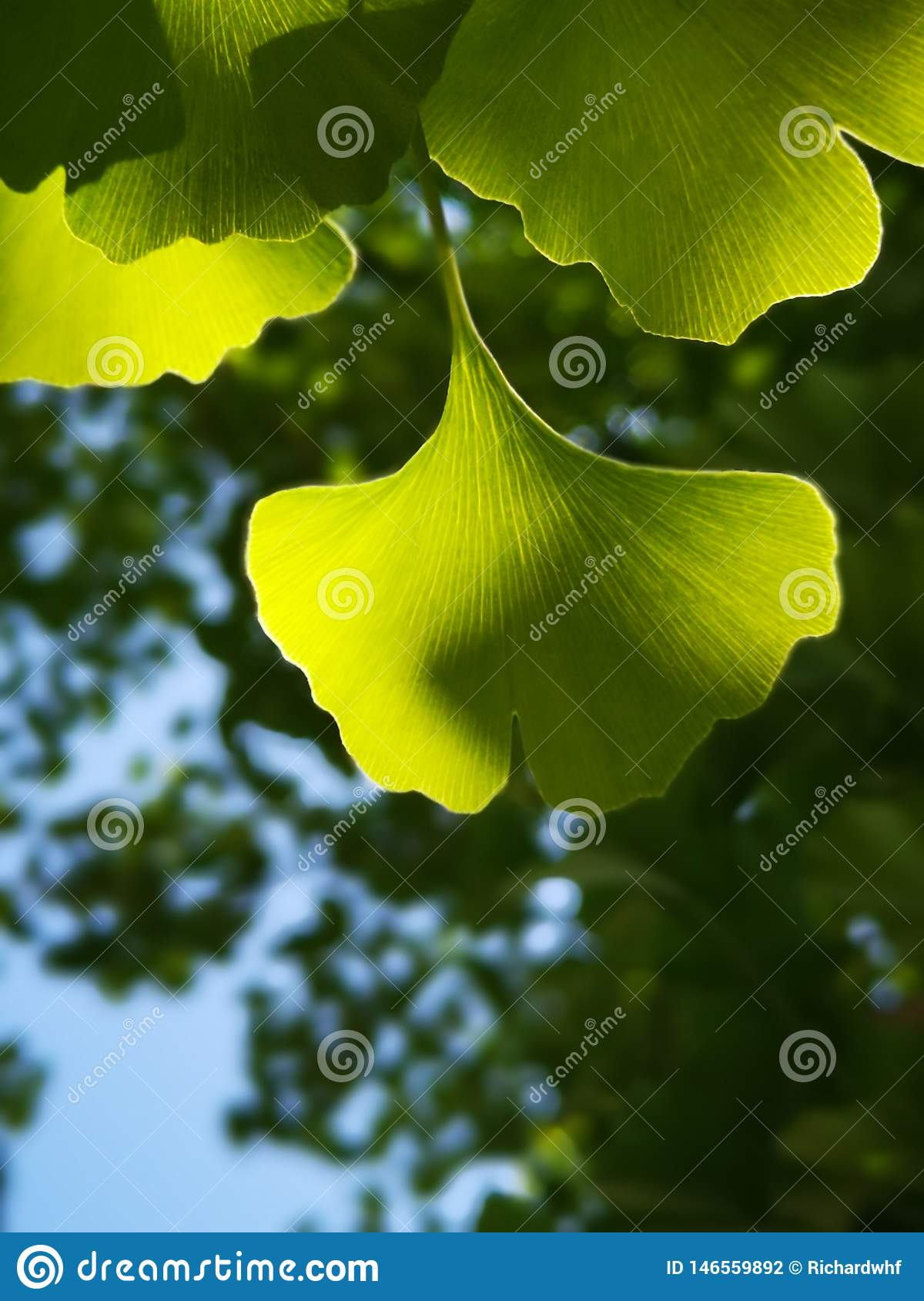 Green ginkgo leaves making a cool summer day