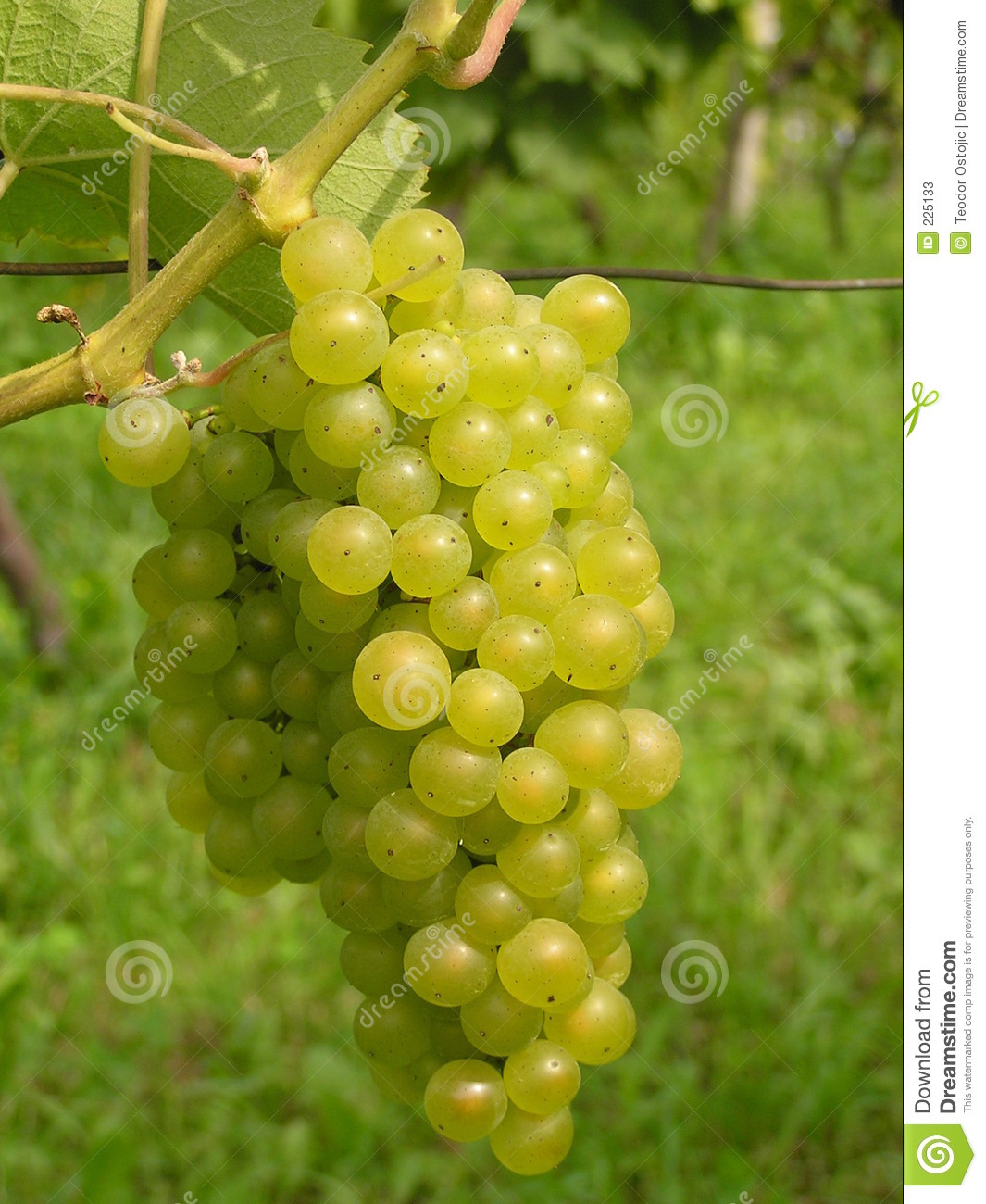 Download Green grape stock image. Image of country, leaves, vineyards - 225133
