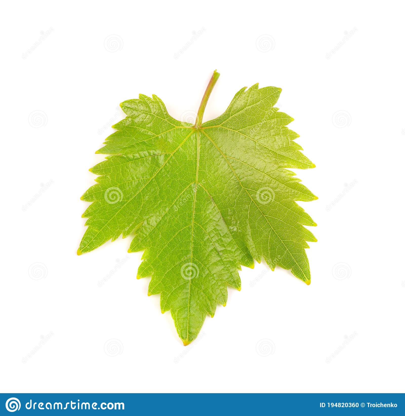 Green Grape Leaves Isolated On White Background Spring With Leaves Of Grape Vine Stock Photo Image Of Background Branch 194820360