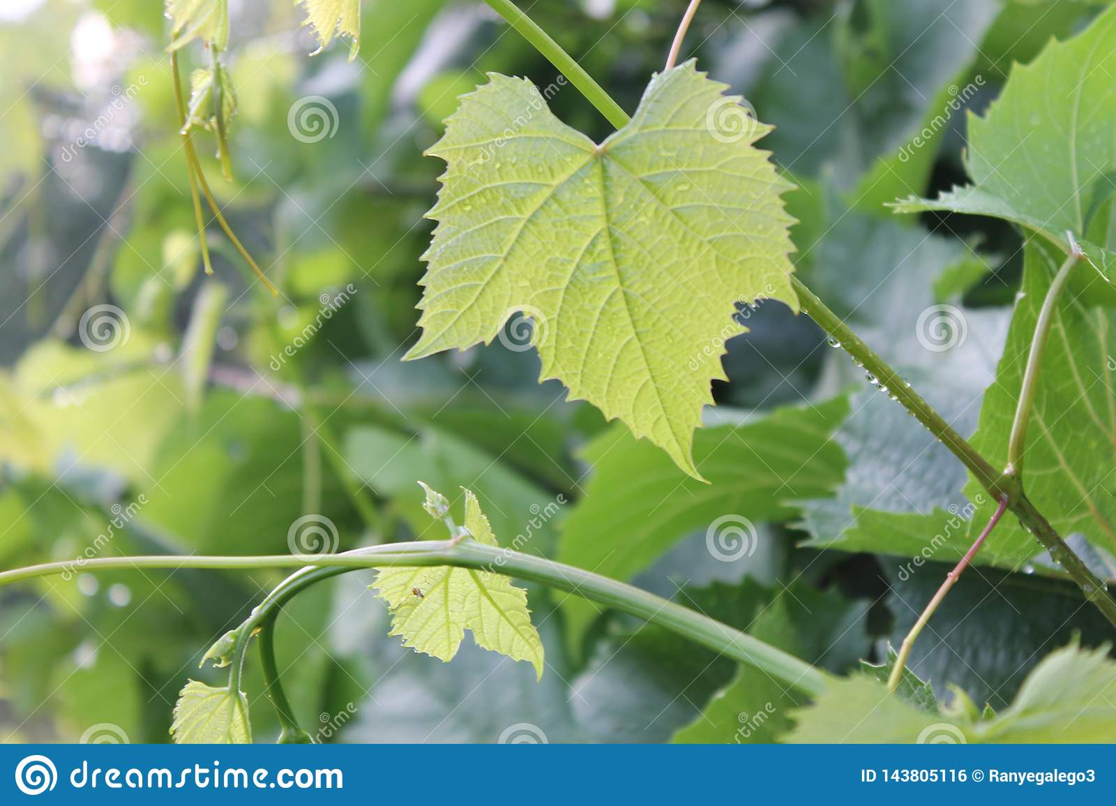Green grape leaves. No grape harvest this year.