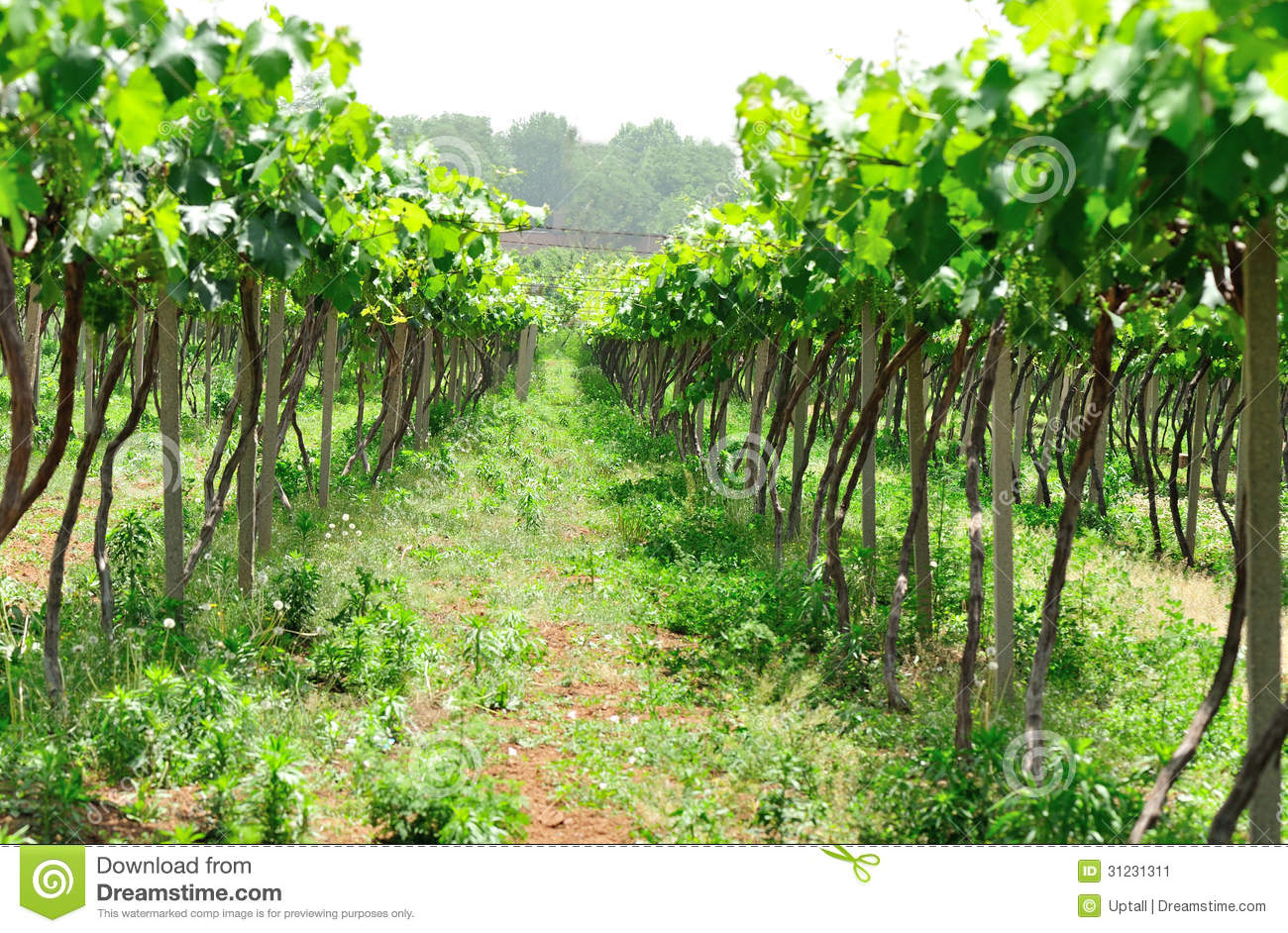 Green Grape Tree Stock Image - Image: 31231311